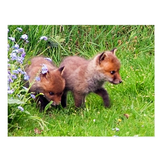 Two Fox Cubs Postcard