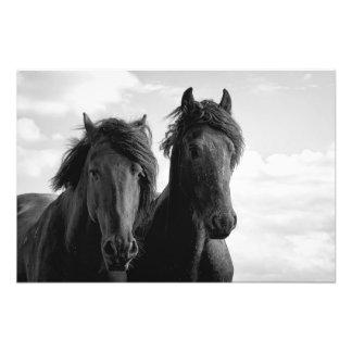 Two Friesian stallions Photo