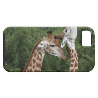 Two Giraffe (Giraffa camelopardalis) necking, iPhone 5 Case