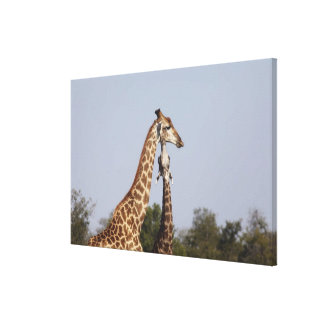 Two Giraffe,  Kruger National Park, South Africa Canvas Print