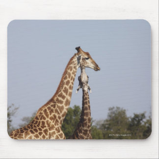 Two Giraffe,  Kruger National Park, South Africa Mouse Pad