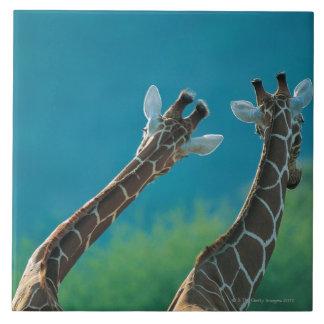 Two Giraffes (Giraffa camelopardalis) Tile