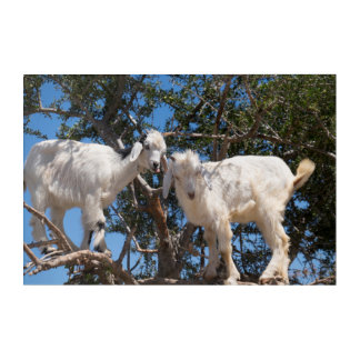 Two Goats in a Tree Acrylic Print