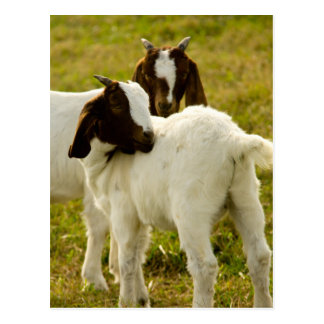 Two Goats Postcard