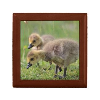 Two Goslings grazing Gift Box