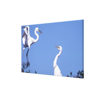 Two Great Egrets (Ardea alba) in a courtship Canvas Print