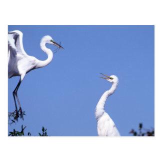 Two Great Egrets (Ardea alba) in a courtship Postcard
