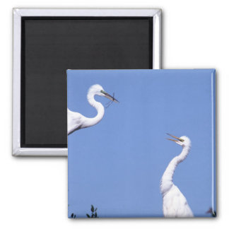 Two Great Egrets (Ardea alba) in a courtship Square Magnet