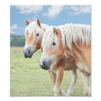 two Haflinger of horses Photograph