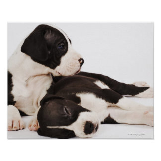 Two Harlequin Great Dane puppies on white Poster
