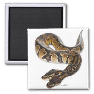 Two headed Royal Python or Ball Python - Python Square Magnet