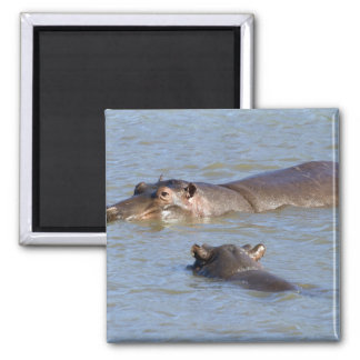 Two hippos in a river, Kruger National Park, Magnet