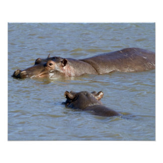 Two hippos in a river, Kruger National Park, Poster