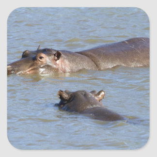 Two hippos in a river, Kruger National Park, Square Sticker
