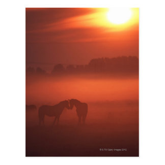 Two horses at sunset post cards