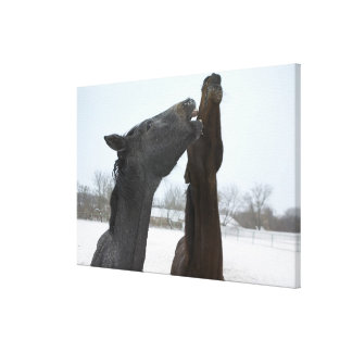 two horses neighing canvas print