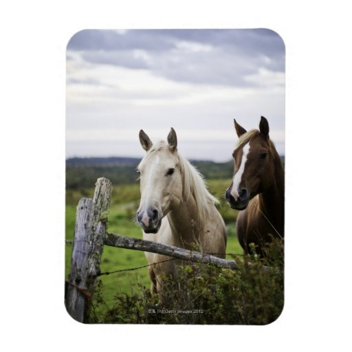 Two horses stand near fence in farm field of off rectangular magnet