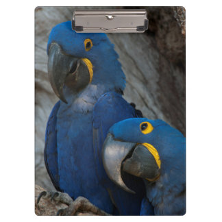 Two Hyacinth Macaws, Brazil Clipboard