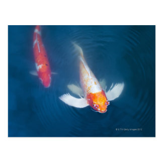 Two Japanese koi fish in pond Postcard