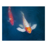 Two Japanese koi fish in pond Poster
