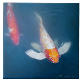 Two Japanese koi fish in pond Tile