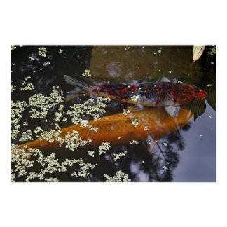 Two Koi in Pond Poster