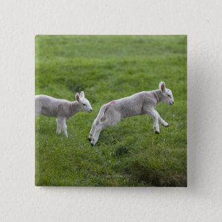 Two Lambs 15 Cm Square Badge