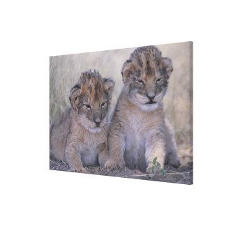 Two Lion Cubs Canvas Print