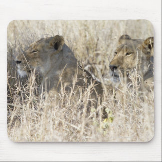 Two lions hidden in dry grass, Kruger National Mouse Pad
