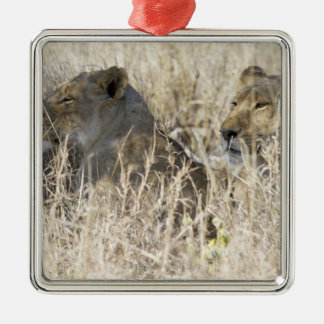 Two lions hidden in dry grass, Kruger National Silver-Colored Square Decoration