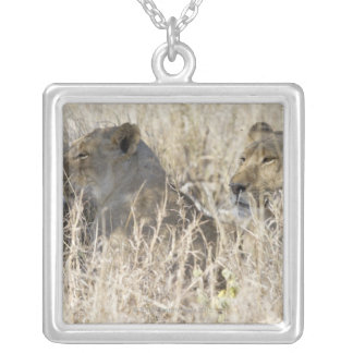 Two lions hidden in dry grass, Kruger National Silver Plated Necklace