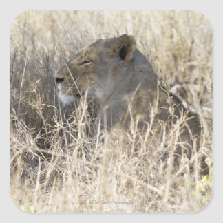 Two lions hidden in dry grass, Kruger National Square Sticker