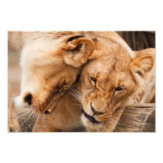 Two Lions Poster Photograph