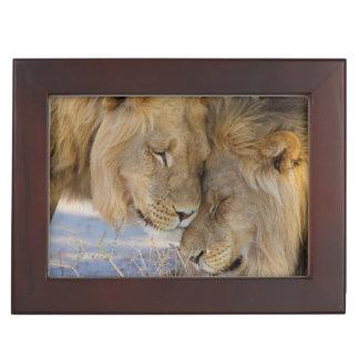 Two Lions rubbing each other Keepsake Box