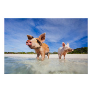 Two little piglets poster