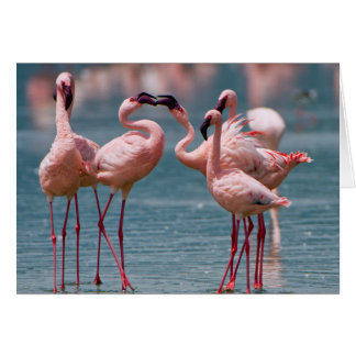 Two Male Lesser Flamingos (Phoenicopterus Minor) Card