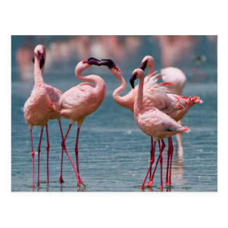 Two Male Lesser Flamingos (Phoenicopterus Minor) Postcard