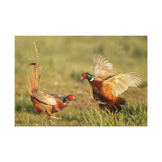 Two male ring-neck pheasants fighting. canvas print