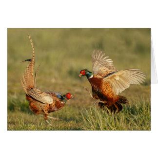 Two male ring-neck pheasants fighting. card