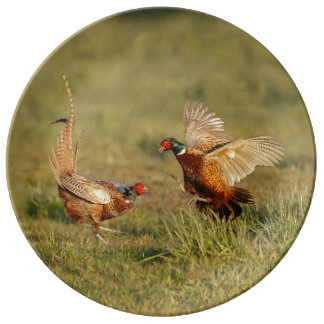 Two male ring-neck pheasants fighting. plate