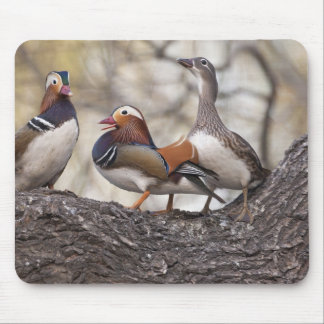 Two males vying for a female Mandarin duck Mouse Mat
