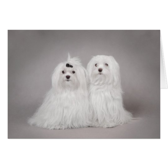 Two Maltese dog Card
