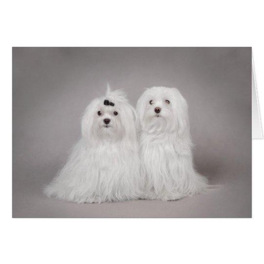 Two Maltese dog Card