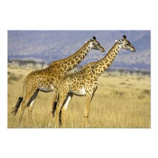 Two Masai Giraffes Giraffa camelopardalis Photo Art