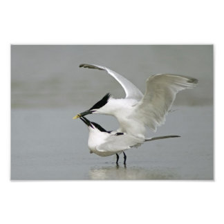 Two Mating Sandwich Terns Photographic Print