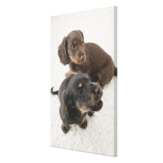 Two Miniature Dachshunds, Studio Shot Canvas Print