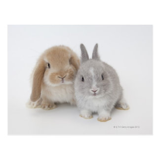 Two Netherland Dwarf and Holland Lop bunnies Postcard