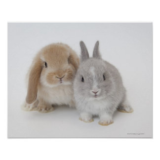 Two Netherland Dwarf and Holland Lop bunnies Poster