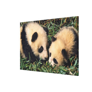 Two panda cubs in the bamboo bush, Wolong, Canvas Print