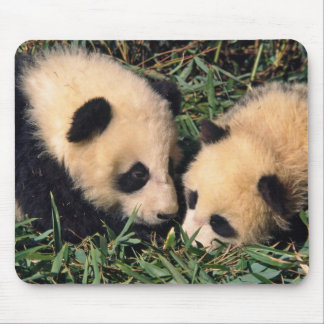 Two panda cubs in the bamboo bush, Wolong, Mouse Pad